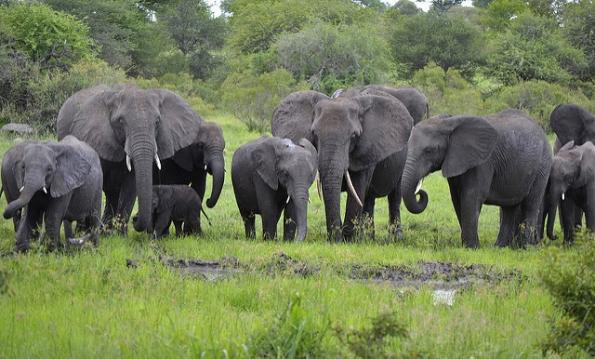 This is a photo of a herd of elephants